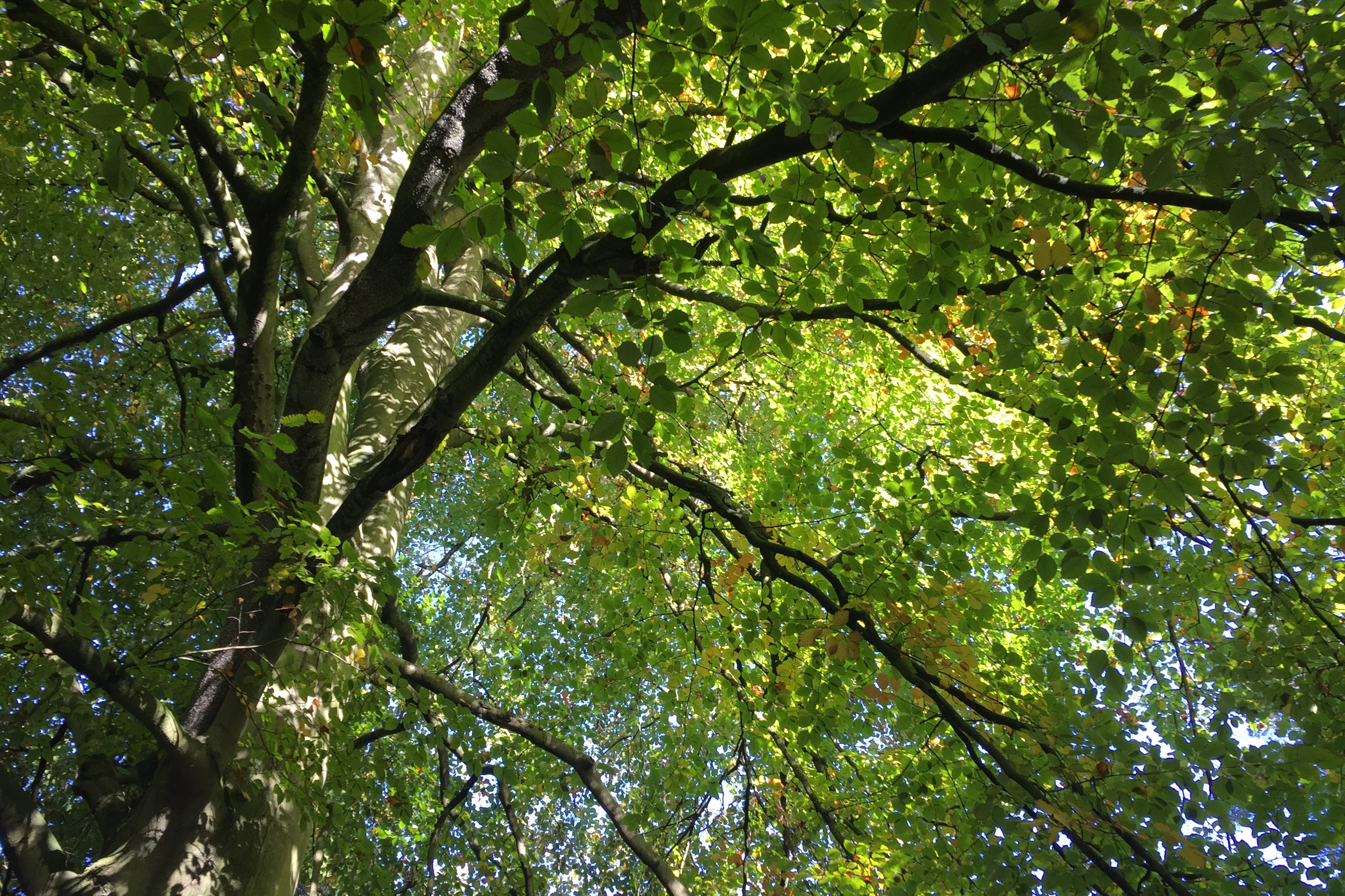 An upwards view of large tree with many green leaves